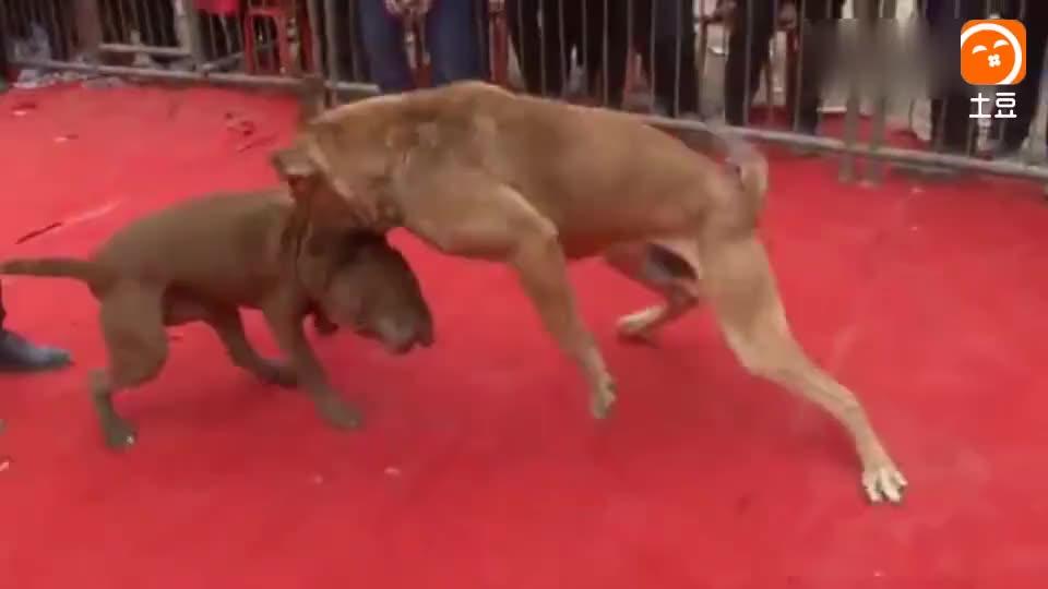 吓人! 如今斗鸡斗牛不过瘾, 现在连斗狗都出来了, 冠军争夺赛 最后两只狗拉都拉不开!