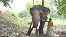 她是印度极其罕见的女驯象人