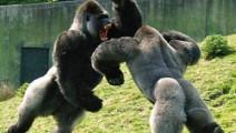 动物界超强攻击,谁敢说人能单挑过大猩猩?