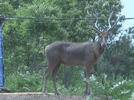 大连瓦房店出没奇怪动物像鹿又像马 濒临灭绝危险