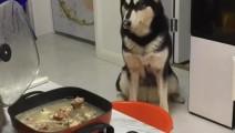主人叫哈士奇过来吃火锅,哈士奇竟叼来这个东西!