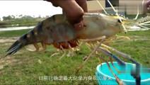 虾类巨无霸,最长可长到1米,被人拿来冒充龙虾