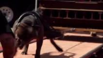 世界上最凶猛的狗,鬼獒只能屈居第二,委内瑞拉国家禁止饲养此狗