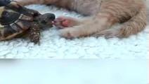 大笑,乌龟想吃掉一整只猫,无奈头太短嘴太小,只是瘙痒的份