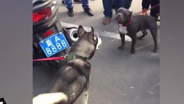 哈士奇最凶猛的一面,比特犬都被吓得秒怂