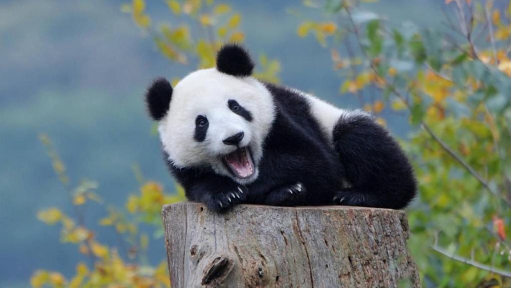 只会调皮捣蛋,小时候的大熊猫真是太可爱了