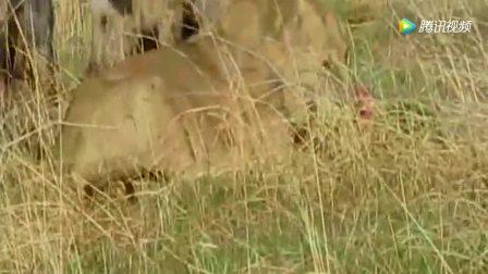 20只非洲鬣狗大战一头成年狮子, 狮子能顶得住吗?