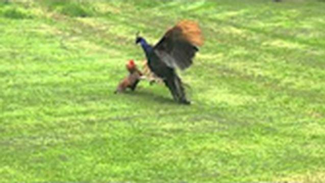 孔雀也是好战分子,和公鸡打了起来