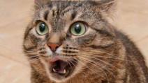当凶猛老虎遇上可爱猫咪,瞬间就失去王者风范,表情好逗