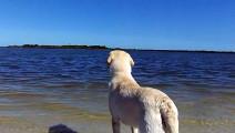 这条拉布拉多犬勇气可嘉,大海里找玩具