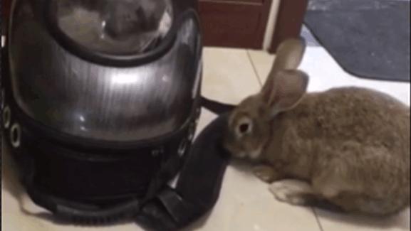 这怕是世界上最可怕的兔子了,看猫咪吓那熊样