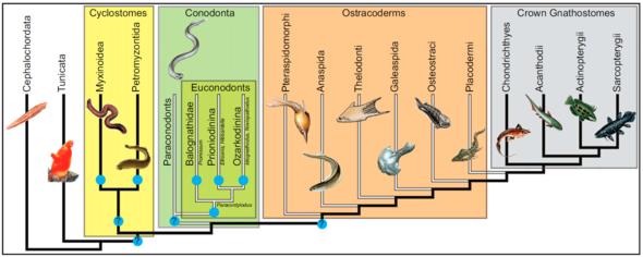 牙型动物在脊索动物门的分类地位.