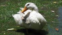 狗狗救了一只鸭子,从此鸭子变身跟屁虫,要以身相许