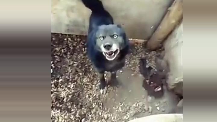 在野外抓住一条狗,凶猛程度超过藏獒