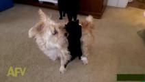 小猫双手吊在狗狗的后背,狗狗只觉得背上重,各种旋转着总不见有东西