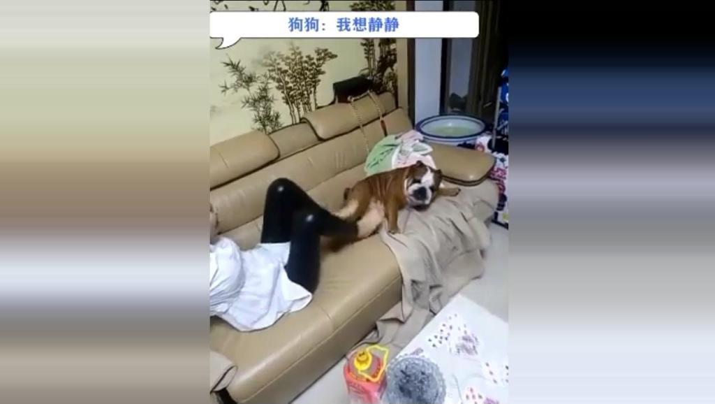 女主人和狗狗在沙发上打架,男主人叫全家人一起看热闹!这主人和狗狗太疯狂了