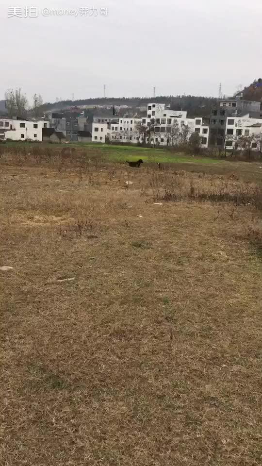 家庭宠物拉布拉多#我看着是很小 但跟土狗站起来一比