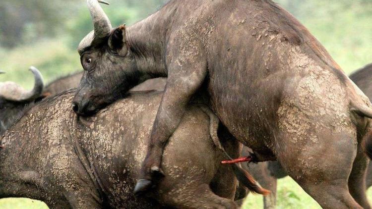 操非洲黑屄�_头一次见到狮子这么怂,竟被非洲水牛逼到树上,还全身发抖