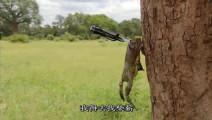 这只非洲牛蛙好可怜,被贝爷的打野刀钉在树上,准备烤了吃