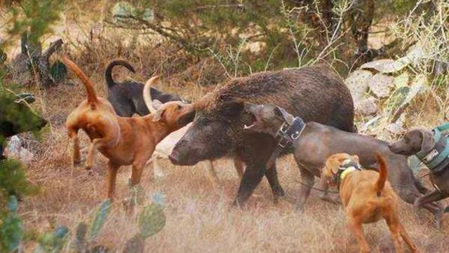 野猪偷吃村庄甘蔗遭围,独战十几只土狗,以一敌十丝毫不弱下风!
