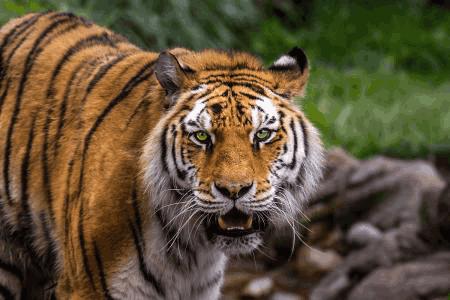 作为食物链的顶端, 老虎最怕什么?