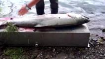三文鱼产地: 抓到鱼,先切片再带走