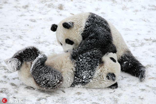 2017年1月13日报道,绿色地毯铺成的舞台上,23只熊猫宝宝集体亮相,活泼的滚滚们四处爬,其中一只不慎摔下舞台,饲养员赶忙上前抱起生动的一幕被摄影师定格。1月12日,这张照片红透网络,并配以文字:熊猫宝宝摔进世界最佳图片。原来,岁末年初之际,全球各大媒体纷纷盘点过去一年,这张照片相继入选路透社2016年度图片、《时代周刊》2016年度动物图片、《大西洋月刊》2016年度新闻图片。  看,就是这个调皮的小家伙。这只调皮幼仔不小心掉在平台下,被工作人员像抱孩子一样抱起来。这个动作立即引发了