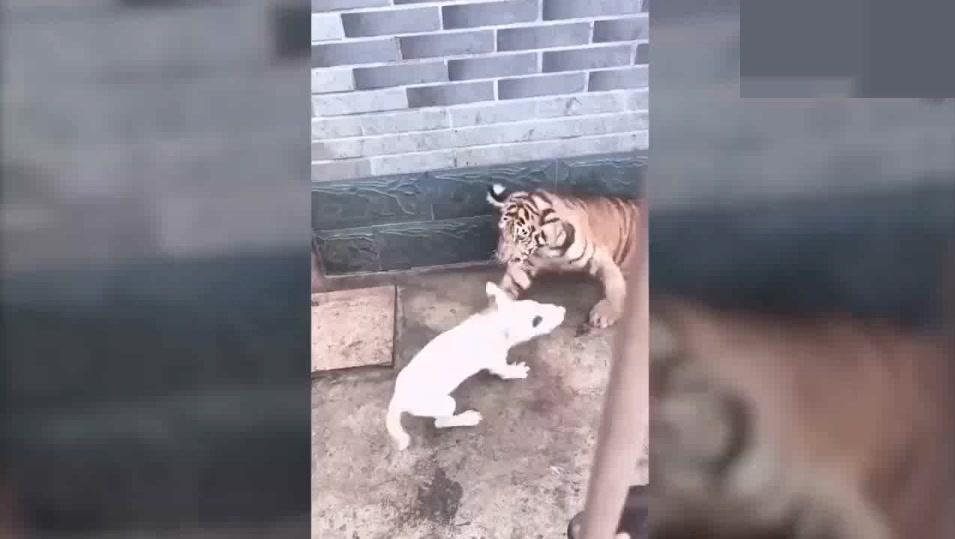 牛头梗掉进虎窝,气势不减张口就咬,揍得两只老虎落荒而逃!