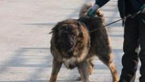 斗赢藏獒的比特犬狂妄了,不自量力挑战高加索犬最后被秒杀
