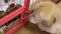 金毛放着自己的一窝崽不管,竟跑去给柴犬的孩子喂奶,太逗了