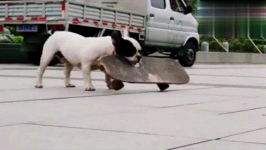人民公园偶遇一只喜欢玩滑板的斗牛犬,比人滑的都好!