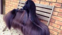 这只狗配一次种能十万元,主人靠它发家致富,是世界上最美狗狗!