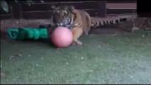 小老虎一直以为自己是只猫: 谁还不是个宝宝啊!