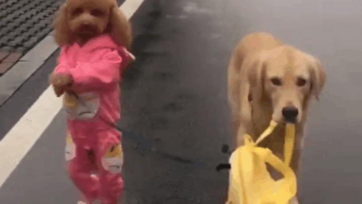 这只泰迪穿上衣服像个孩子,它已经忘了自己是条狗!