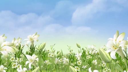 晚会节目led屏背景超高清视频素材 打开 s122 美丽的茉莉花 茶园风光