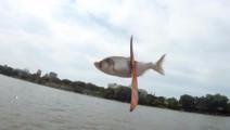 国外流行一种新的运动,起因却是因为亚洲鲤鱼多到起飞