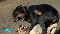世界五大猛犬藏獒榜上有名,美国比特犬竟然只能排第二?