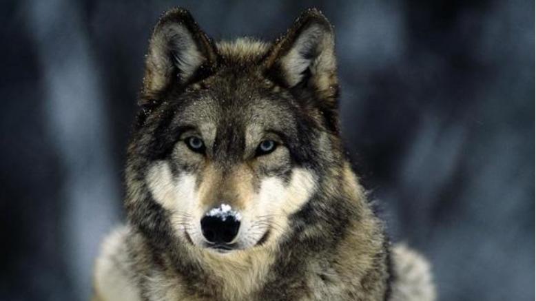 电影《狼图腾》: 遵守自然守恒规则, 对自然心存敬畏