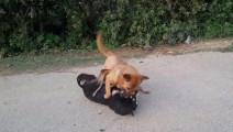 实拍大中华田园犬土狗秒杀哈士奇,乡村街道的猛士