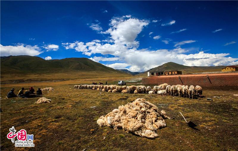 藏族同胞剪羊毛 嘉洛草原上最美的风景线