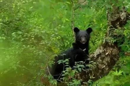 野生黑熊图片大全可爱图片