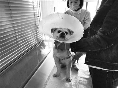西安一��物狗治尿�Y石十�滋旎�了4�f多��物看病�F是普遍�F象