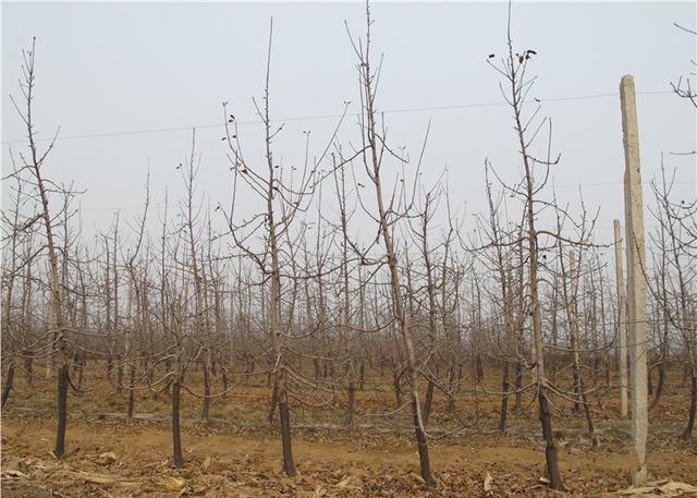 苹果树栽培技术 现代苹果园 三节 栽培技术研究 下