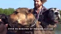 看国外比特猎狗大战3头200多斤野猪,看后觉得我家的哈士奇真该做火锅了!