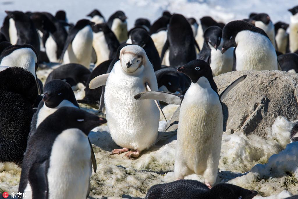 南极洲小企鹅患白化病 通身透白似白雪公主
