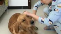 金毛享受男主人给它梳毛 突然说孩子不见了 狗狗做出这反应太逗了