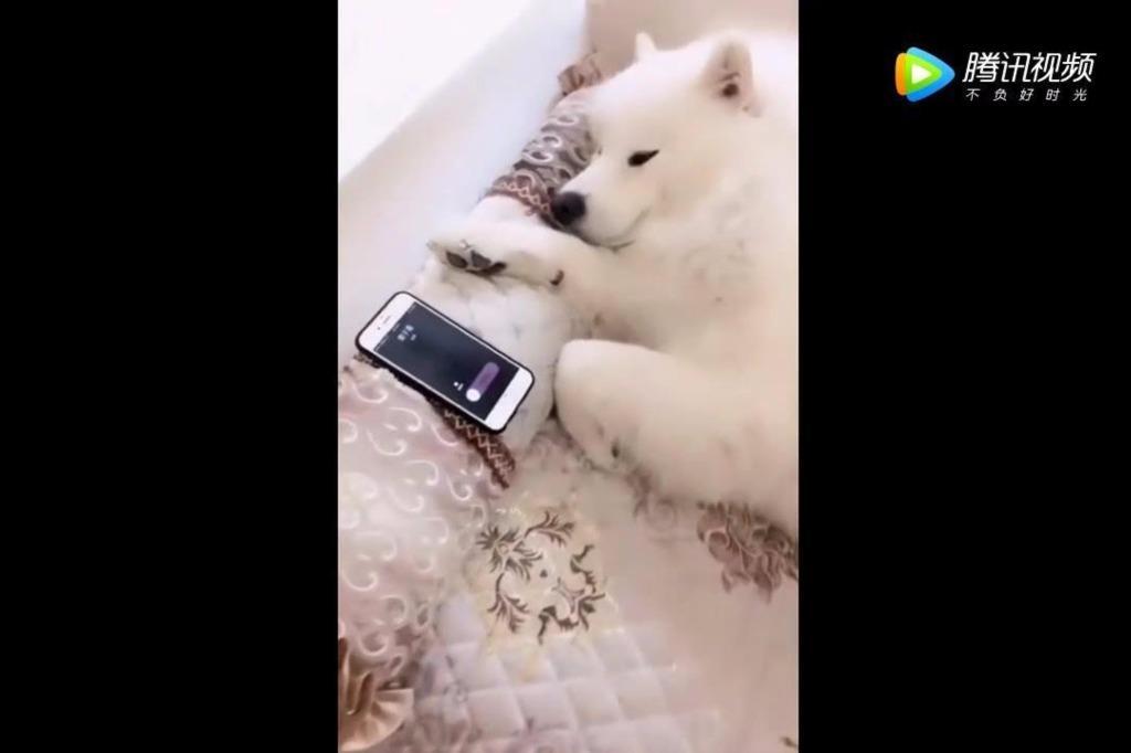 萨摩耶在睡觉,这时主人的电话响了,狗狗的动作成精了