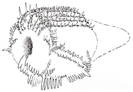 关于牙形动物外形的一种猜想.