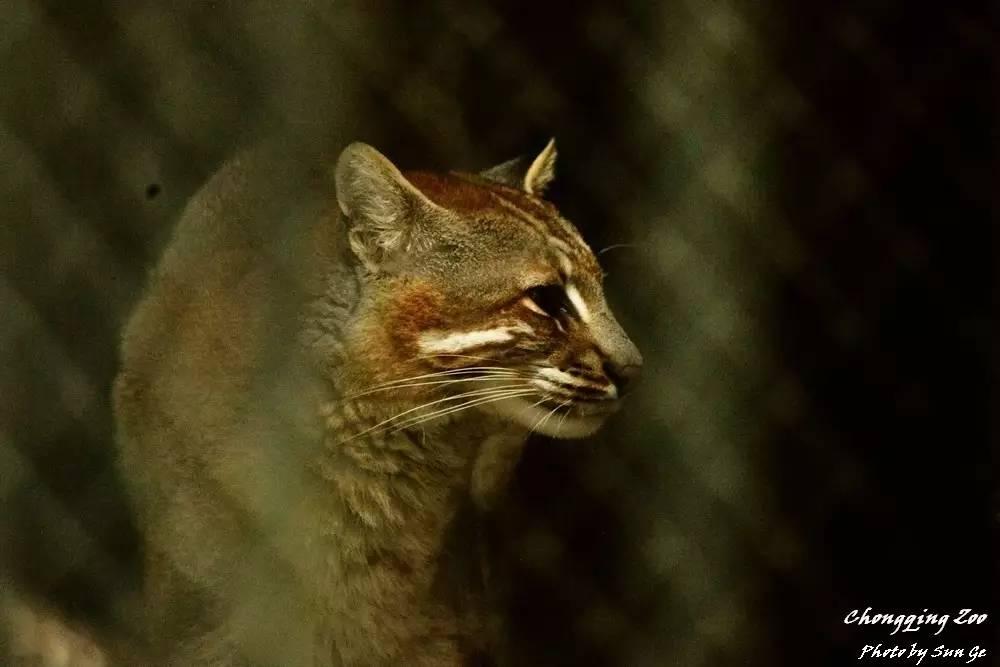 推荐 正文  金猫,2016年4月29日摄自重庆动物园 想要更详细地了解动物