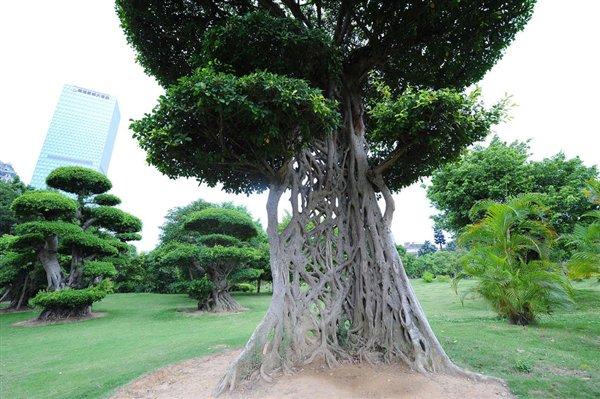 罕见! 大树树干竟似蜘蛛网: 生命力奇迹